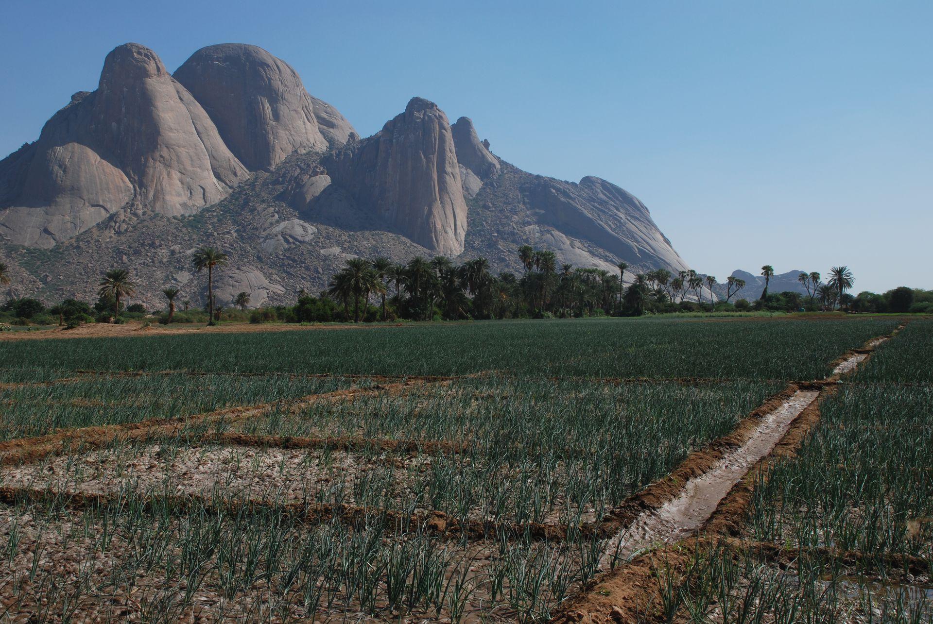 Champs d'oignons, Kassala, Soudan. Photo : Bertramz, Wikipédia.