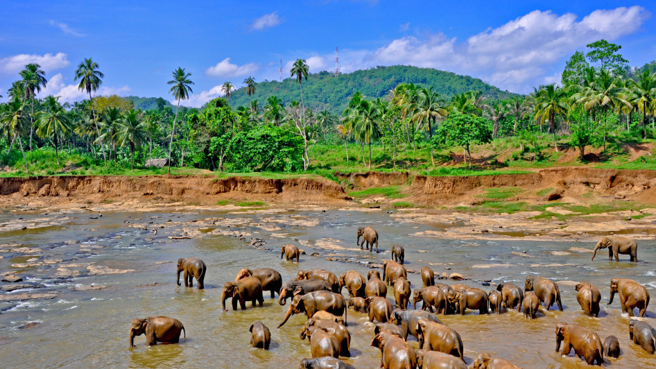 Elephants, Sri Lanka